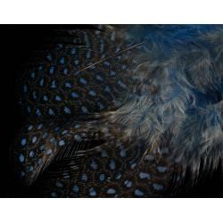 plumes de pintades petits pois