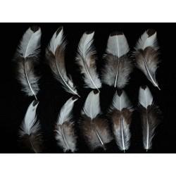 plumes de corps de coq appenzelloise huppé