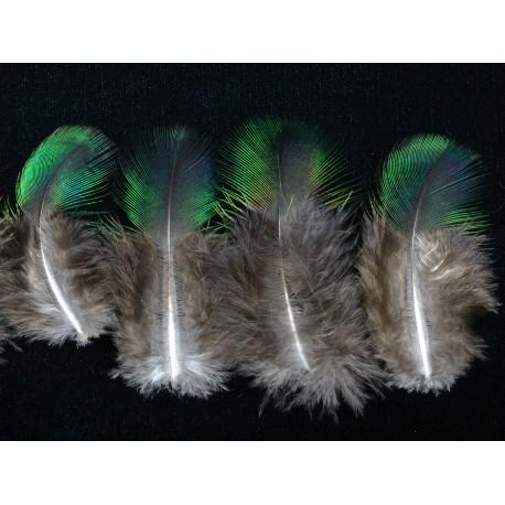 plumes de cou de paon bleu vert