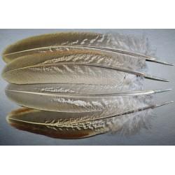 plume d'aile de faisans de colchide
