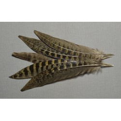 plume de queue de faisan de obscur