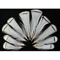 Collerette de faisan lady amherst 5-8 cm