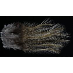 plume de coq de léon pardo