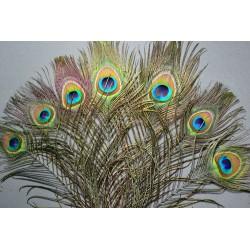 plumes de cou de paon bleu