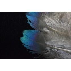 plume de crête
